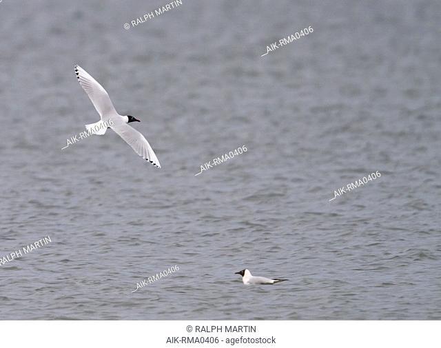 Hybrid Black-headed Gull x Mediterranean Gull (Larus ridibundus x melanocephalus), Germany, adult in breeding plumage. Flying above a local lake