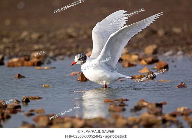 Mediterranean Gull Larus melanocephalus adult, entering summer plumage, flapping wings after bathing, Suffolk, England, february