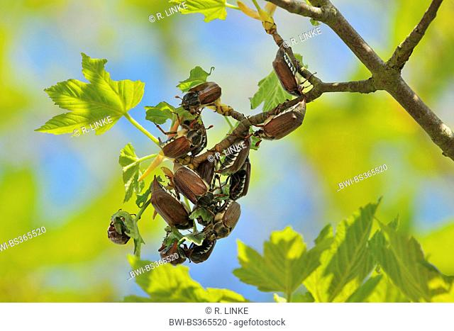 common cockchafer, maybug (Melolontha melolontha), several maybugs on a maple twig, Germany, Bavaria
