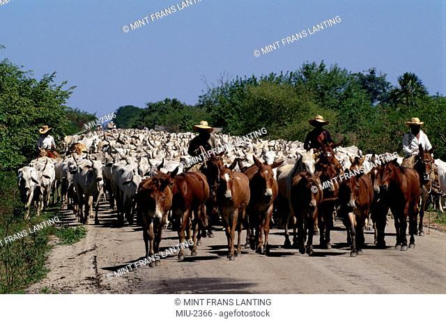 Cattle drive, Bos taurus, Pantanal, Brazil