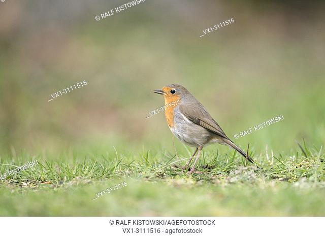 Robin Redbreast / Rotkehlchen ( Erithacus rubecula ) sitting on the ground, singing its song, side view, typical garden bird in Europe