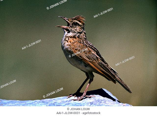 Redcapped Lark, South Africa