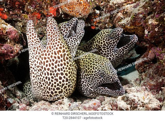 Group of Honeycomb Moray, Gymnothorax favagineus, North Male Atoll, Maldives