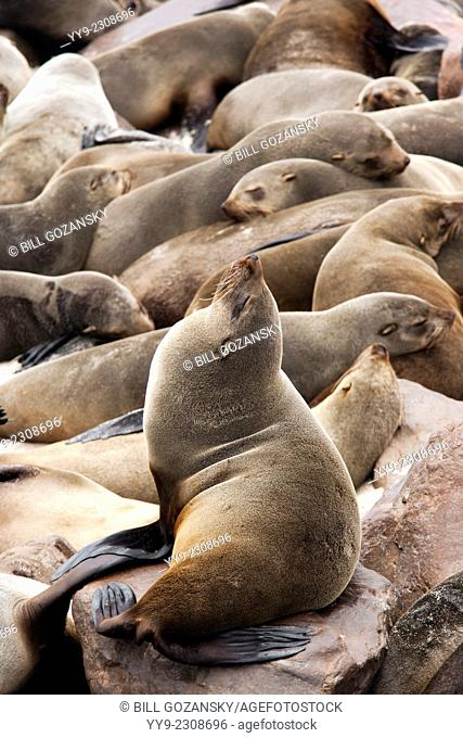 Cape Fur Seals - Cape Cross Seal Reserve - near Henties Bay, Namibia, Africa