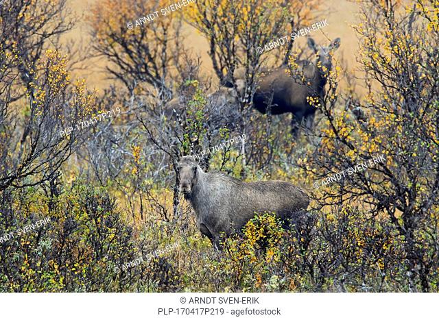 Moose (Alces alces) two cows with calf foraging among willow shrubs in moorland in autumn, Scandinavia
