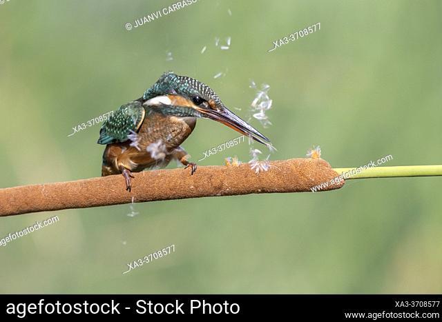 Female kingfisher (Alcedo atthis) breaking a bulrush spike (Typha sp.)