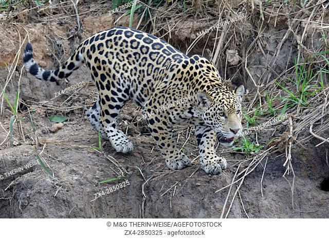 Young jaguar (Panthera onca) stalking on riverbank, Cuiaba river, Pantanal, Mato Grosso State, Brazil