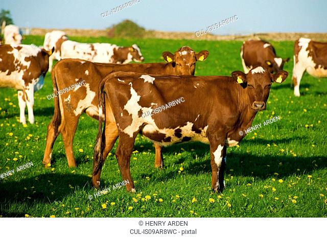 Group of brown and white cows in spring field