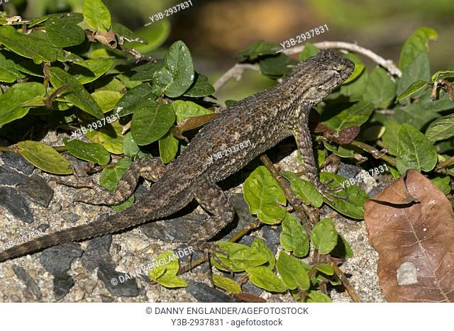 A Western Fence Lizard crawls on some rocks in the bright sunshine