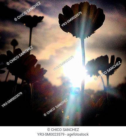 The sun shines in a daisies prairie in Prado del Rey, Sierra de Grazalema, Andalusia, Spain
