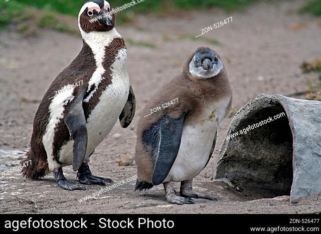 Brillenpinguin, Südafrika, Afrika, südliches Afrika, Bettys Bay, Spheniscus demersus, jackass penguin, South Africa, Southern Africa...