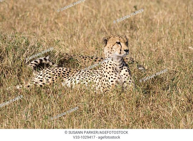 Two cheetah relaxing in the afternoon in the Masai Mara