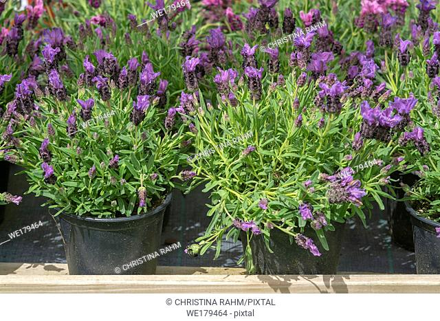 Lavender purple flowers closeup Lavendula officinalis on rustic wood. Spring garden series, Mallorca, Spain