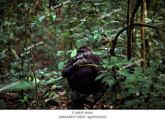 Western lowland gorilla sub-adult female 'Mosoko' aged 8 years sitting in a tree (Gorilla gorilla gorilla). Bai Hokou, Dzanga Sangha Special Dense Forest...
