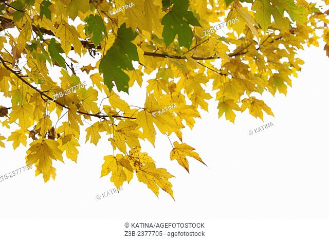 Yellow maple leaves in autumn at the Frelinghuysen Arboretum, Morristown, New Jersey, NJ, USA