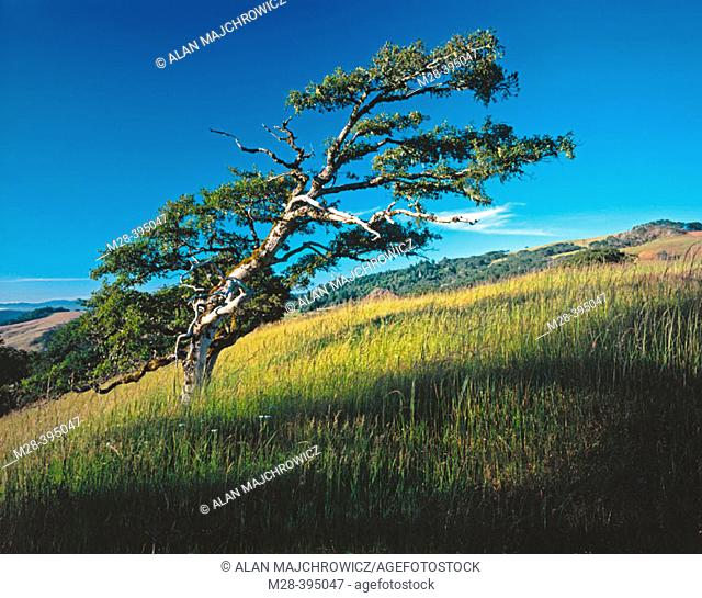 Oregon White oak. Bald Hills. Redwood National Park. California. USA