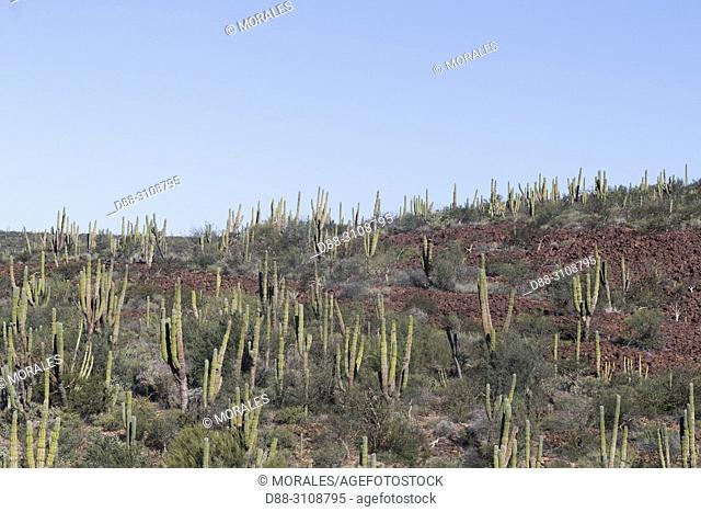 Central America, Mexico, Baja California Sur, Sierra San Francisco, semi desert landscape, cacti