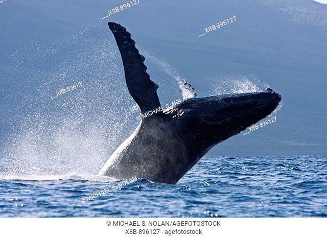 Adult humpback whale (Megaptera novaeangliae) breaching in the AuAu Channel between the islands of Maui and Lanai, Hawaii, USA