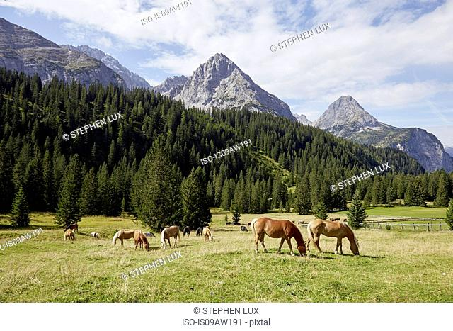 Herd of horses grazing in valley, Ehrwald, Tyrol, Austria