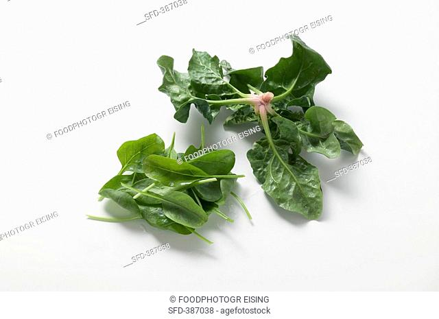 Winter and spring spinach
