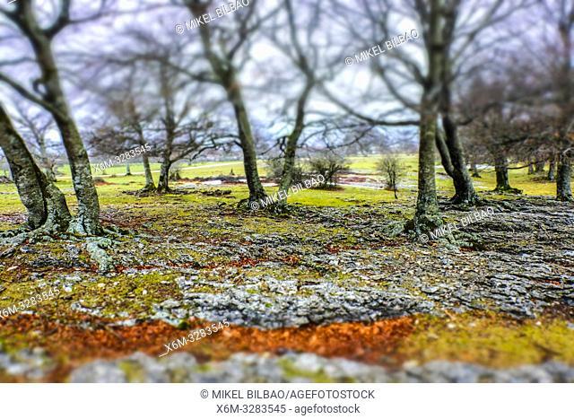 Beech grove. Urbasa y Andia Natural Park. Navarre, Spain, Europe