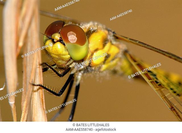 Calico Pennant (Celithemis elisa) dragonfly