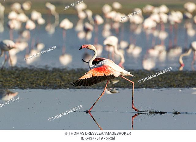 Greater Flamingo (Phoenicopterus roseus), running, Laguna de Fuente de Piedra, Málaga province, Andalusia, Spain