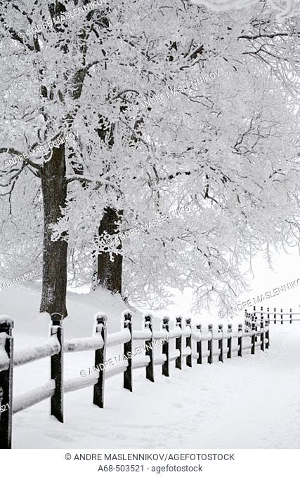 Winter in sweden. A fence and trees with rime on them