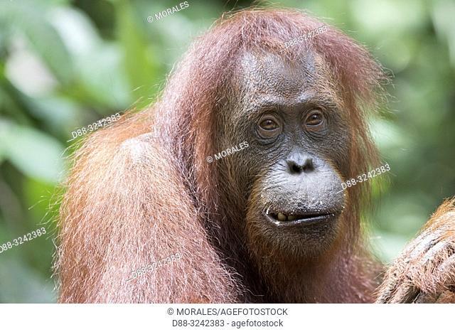Asia, Indonesia, Borneo, Tanjung Puting National Park, Bornean orangutan (Pongo pygmaeus pygmaeus), Adult female