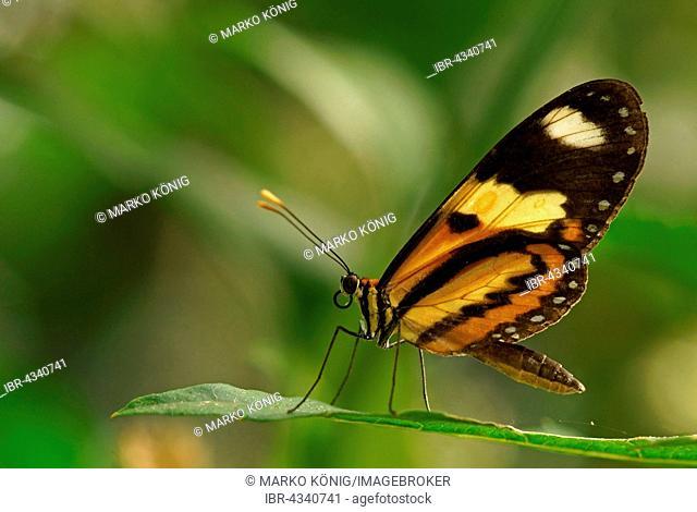 Nymphalidae (Nymphidae) Tropical butterfly (Mechanitis lysimnia), Iguazú National Park, Paraná, Brazil