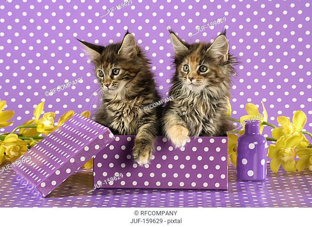 Maine Coon cat - two kittens in a box