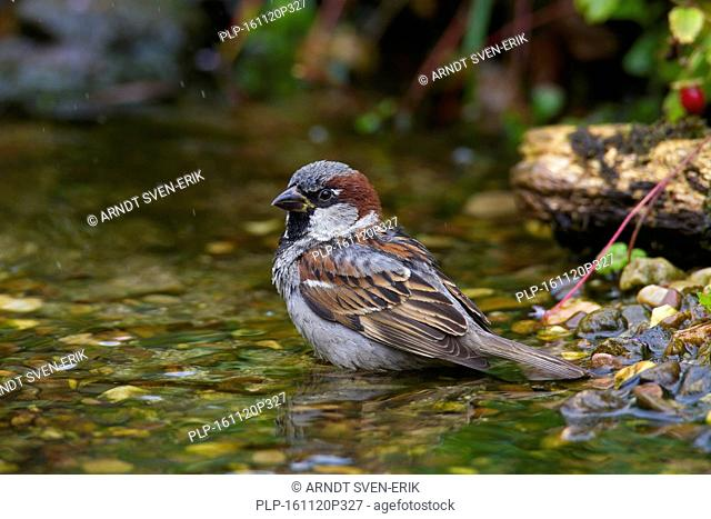 House sparrow (Passer domesticus) male bathing in shallow water of brook