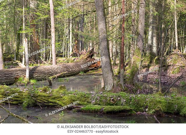 Spring landscape of old forest and broken moss wrapped trees lying in water, Bialowieza Forest, Poland, Europe