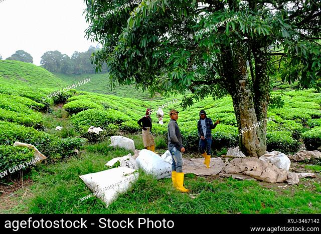 Workers at Tea Plantation farm, Cameron Highlands, Malaysia