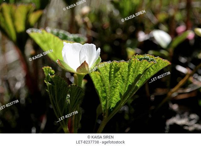 Blooming cloudberry Rubus chamemorus