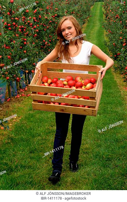 Woman carrying a box with red apples in apple orchard