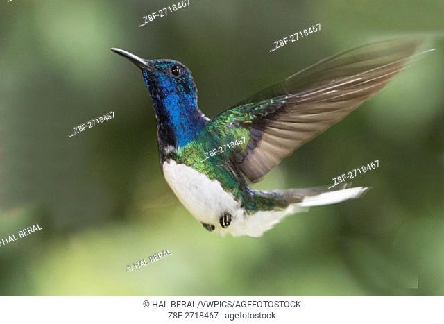 White-Necked Jacobin Hummingbird flying (Florisuga mellivora) Costa Rica