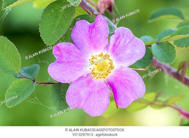 Rosa willmottiae var. willmottiae 1904