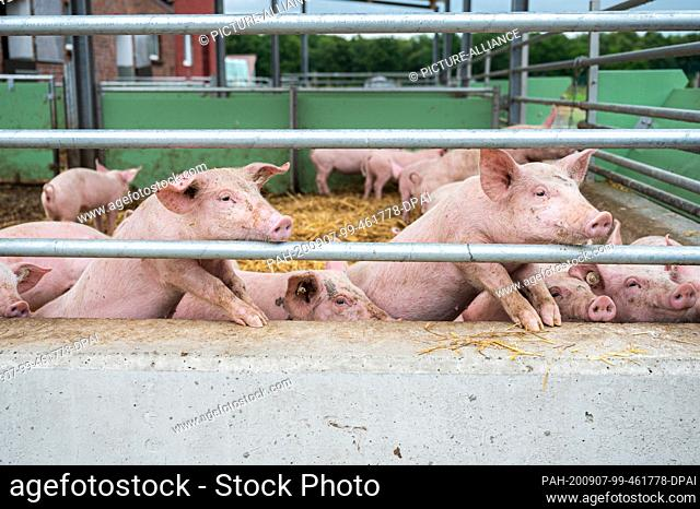 15 July 2020, Lower Saxony, Aurich: Pigs are looking out of their stalls on a farm. Photo: Mohssen Assanimoghaddam/dpa. - Aurich/Lower Saxony/Germany