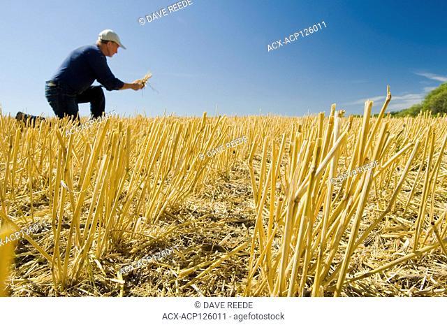 farmer in a field of wheat stubble Tiger Hills, Manitoba, Canada