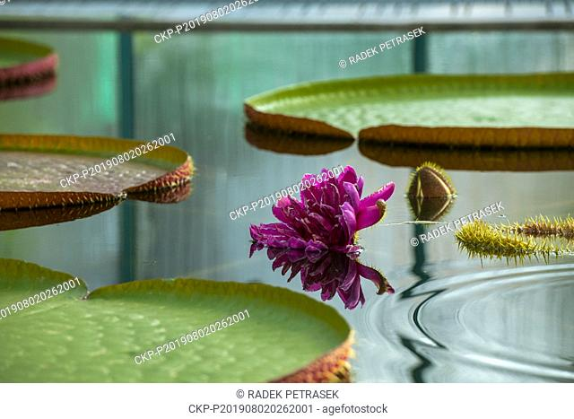 A blossom of Water Lily Victoria amazonica in the Botanic Gardens in Liberec on Friday, August 2, 2019. The plant is the largest species of water lilies