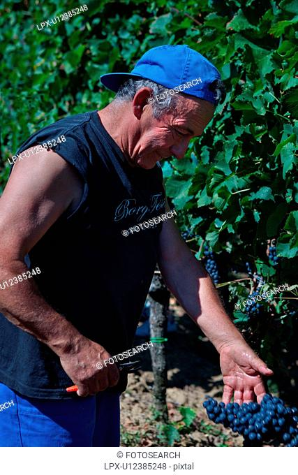 Close up view of man with blue hat and black t-shirt harvesting grapes in morning sunshine, showing bunch of grapes in his hand, Umbia, Italy