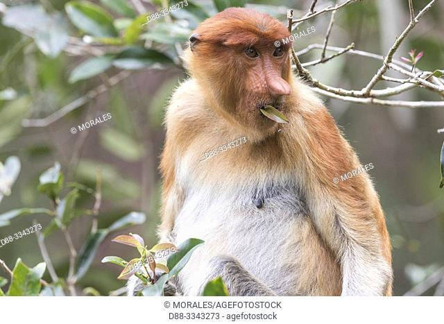 Asia, Indonesia, Borneo, Tanjung Puting National Park, Proboscis monkey or long-nosed monkey (Nasalis larvatus), young male in a tree