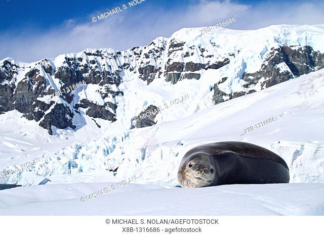 Adult leopard seal Hydrurga leptonyx near the Antarctic Peninsula, Southern Ocean  MORE INFO The leopard seal is the second largest species of seal in the...
