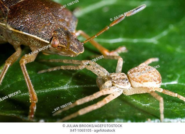Brown shieldbug on leaf  Palomina Prasina, Order Hemiptera sub order Heteroptera Family Acanthosomidae with crab spider