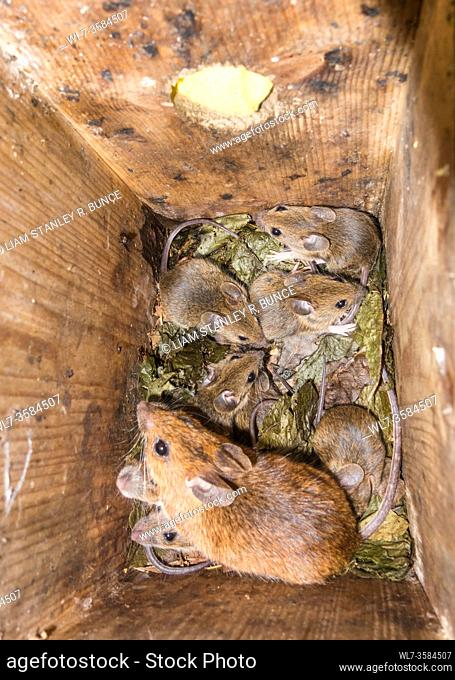 Female Yellow-necked Mouse (Apodemus flavicollis) with young, in Dormouse nest box, Woolhope Herefordshire UK. June 2020
