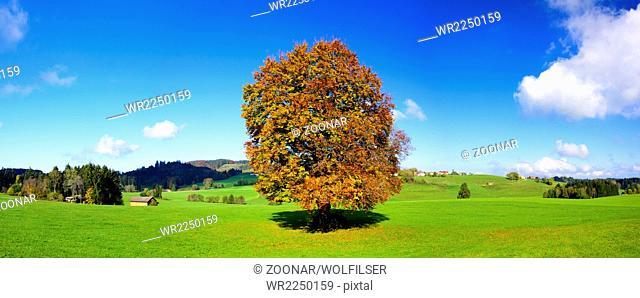 panorama view to big beech tree at autumn