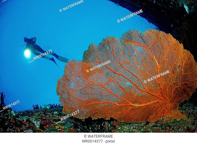 Diver and Red Sea Fan, Similan Islands, Thailand