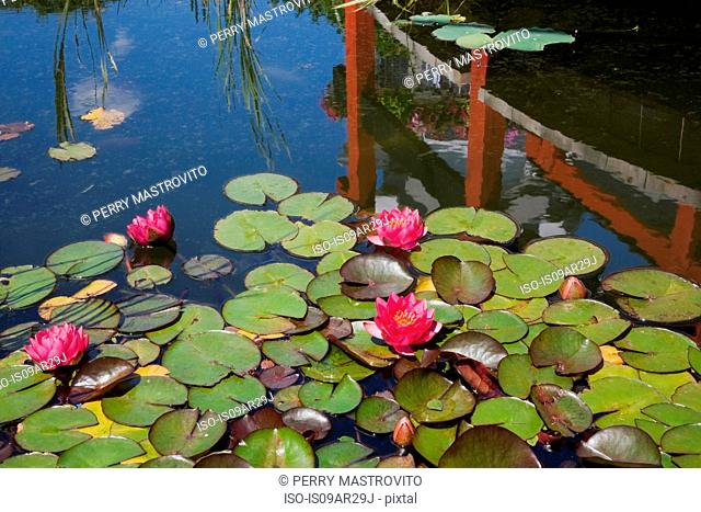 Pond with pink nymphaea and water lily flowers in landscaped garden, Quebec, Canada