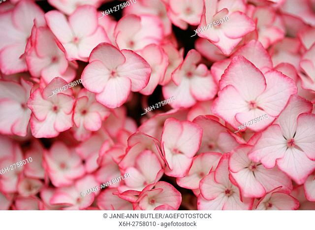 stunning abundant hydrangea cluster of small white flowers with pink edging